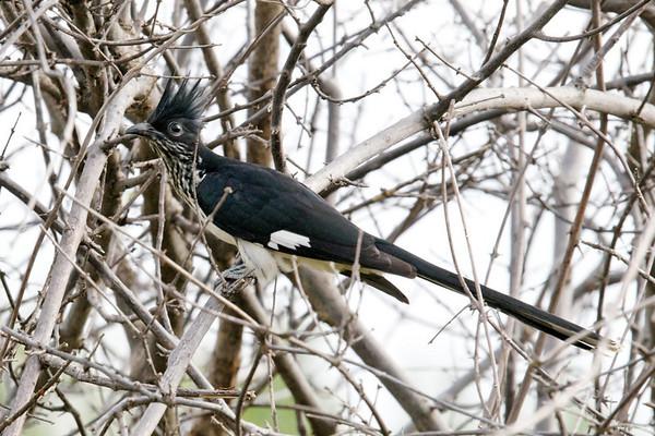 Levaillant's Cuckoo, Chobe National Park, Botswana
