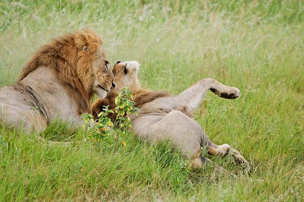 brothers play, Chobe National Park, Botswana