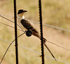 Great Spotted Cuckoo, Thornybush, S. Africa, GPS appx