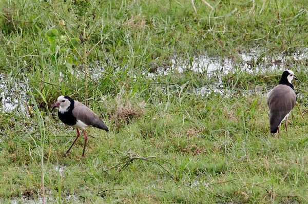 White-crowned plover, Chobe river cruise, Botswana