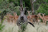 Zebra and Impalas, Thornybush, S. Africa