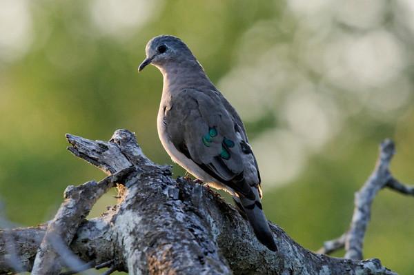 "Emerald-spotted Wood Dove ""Turtur chalcospilos"""