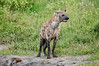 hyena, Chobe National Park, Botswana