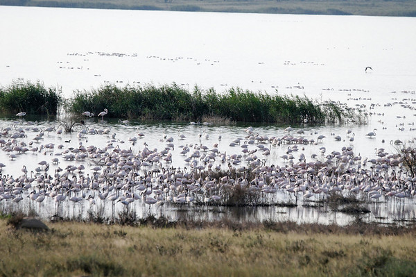 Greater Flamingos, just outside Kimberly, S. Africa