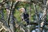 Southern Yellow-billed Hornbill (Tockus leucomelas)