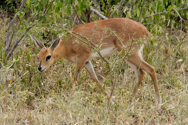 Common Duiker, Thornybush, S. Africa, GPS appx