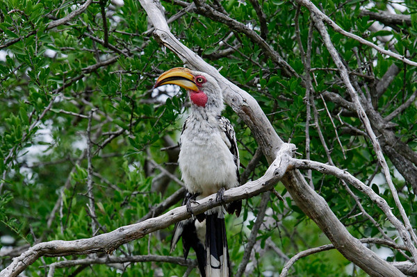 Southern Yellow-billed Hornbill (Tockus leucomelas), Thornybush