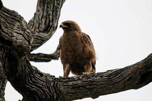 Tawny Eagle (Aquila rapax), Thornybush, S. Africa