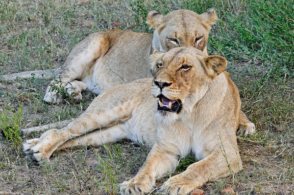 two of three female lions