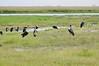 Marabou Storks, Chobe National Park, Botswana