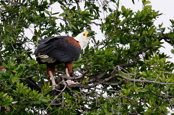 African Snake Eagle, Chobe river cruise, Botswana
