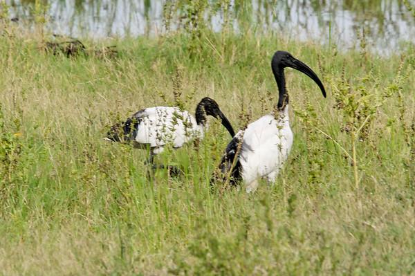Sacred Ibis, Chobe National Park, Botswana