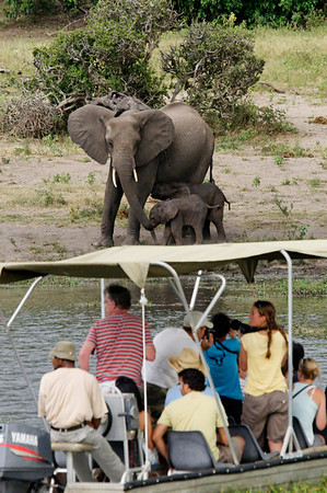 elephants nursing, Chobe river cruise, Botswana