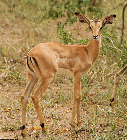 Steenbok, Thornybush, S. Africa, GPS appx