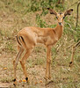 Steenbok, Thornybush, S. Africa, GPS appx