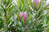Protea, national flower, lunch at the Black Marlin, S. Africa