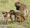 Chacma Baboons, Chobe National Park, Botswana, GPS appx