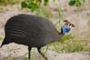 Helmeted Guineafowl, Chobe National Park, Botswana, GPS appx