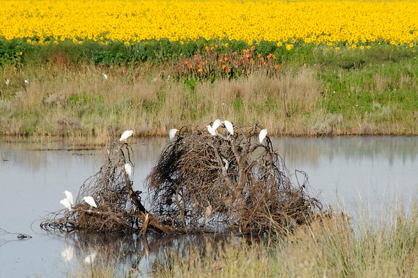 egrets and sunflowers, early morning, Rovos Rail, S. Africa