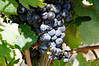 and the grapes, Seidelberg winery, S. Africa