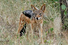 Black-backed Jackal, after lion kill, Thornybush, S. Africa