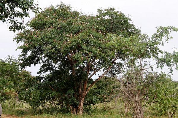 Rhodesian Teak tree, Chobe National Park, Botswana, GPS appx