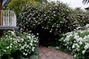white roses, hibiscus tree, Mount Nelson, Cape Town