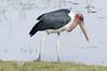 Marabou Stork, Chobe National Park, Botswana
