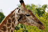 Giraffe and Red-billed Oxpecker, Thornybush, S. Africa, GPS appx