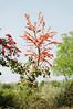 Flame of the Mountain tree, Motel Gangour rest stop, road to Khajuraho