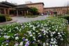 Gardenia-scented Yesterday, Today, and Tomorrow bushes, Soaltee Crowne Plaza Hotel, Kathmandu
