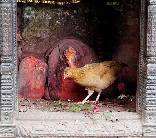 Chicken and Ganesh, road from Jal Binayak Temple, Kathmandu NepalNepal