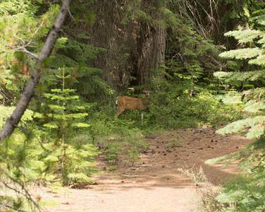 A lone deer near Belnap Falls.