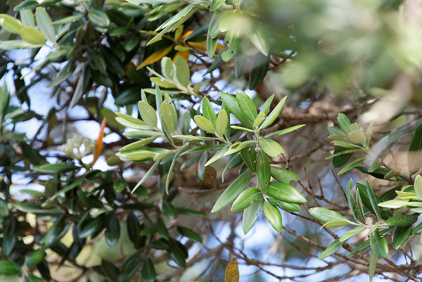 Leaves of the Pohutukawa tree, very much like our Live Oaks