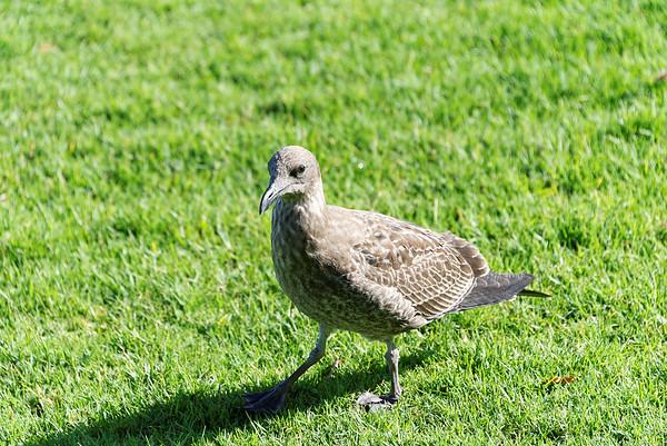 Gull chick at MJ Savage Park