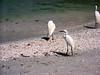 Sanibel Is, sea birds on beach