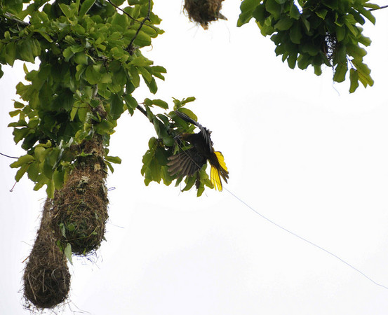 Russet-backed Oropendula (Psarocolinus angustifrons) entering nest with material:  Mangua on the Amazon in Peru
