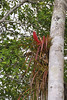 Bromeliad, Yanallpa, Rio Ucayalli, Peru