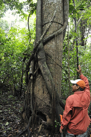 Strangler fig and Sandbox tree - The fig up in the tree, sends up stems & leaves to block out light, killing the host, Qda. Sapote, Rio Ucayalli, Peru