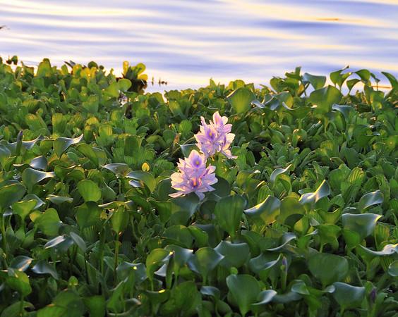 Water hyacinths at sunset, Yana Yaku (Black Water) Lake, Rio Pacaya, Peru