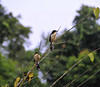 Black-capped Donacobius (the Car Alarm Bird), , Yanallpa, Rio Ucayalli, Peru