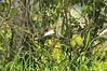 Wattled Jacana (JC) bird, Rio Pacaya, Peru