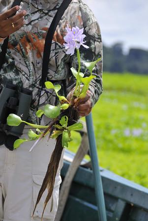 George shows off the invasive water hyacinth, Rio Pacaya, Peru