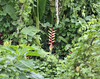 Lobster claw heliconia:  Mangua on the Amazon in Peru