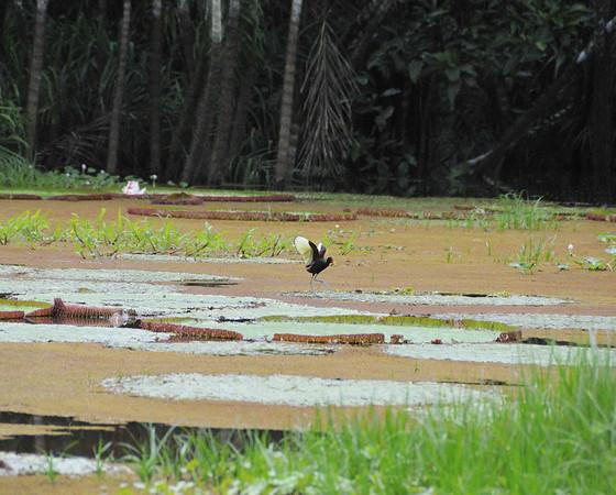 Giant water lillies & Wattled Jacaranda bird (aka JC bird, walks on water), Rio Tapiche, The Amazon, Peru