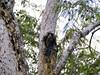 Rat in a tree hole, Qda. Sapote, Rio Ucayalli, Peru