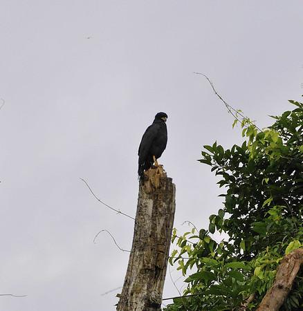 Unidentified bird, Yanallpa, Rio Ucayalli, Peru