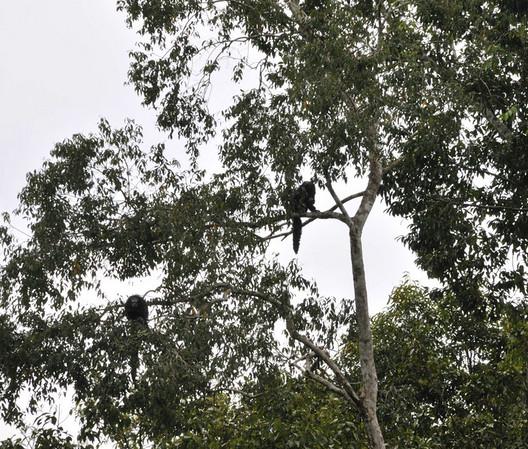 Monk Saki (Pithecia monachus) monkeys, Qda. Sapote, Rio Ucayalli, Peru
