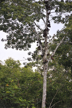 Canonball tree, Codapita sp., related to Brazil nut family, 1 nut not edible by humans, Qda. Sapote, Rio Ucayalli, Peru