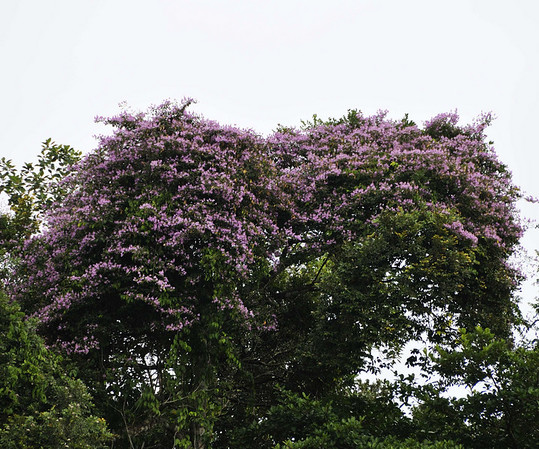 purple vine, Rio Tapiche, The Amazon, Peru